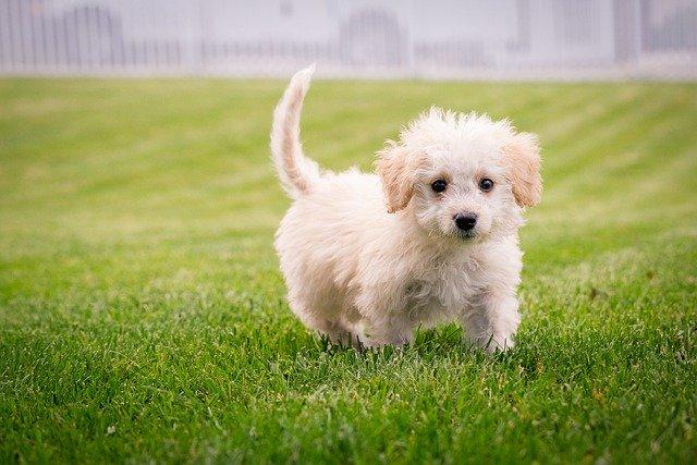 Little white dog running through a freshly cut field of grass cudcvboiz.